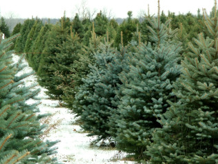 Harvest Your Own Christmas Tree