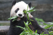 Er Shun Panda at the Toronto Zoo