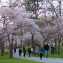 Cherry Blossoms 2012