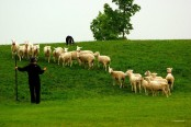 The Kingston Sheep Trials