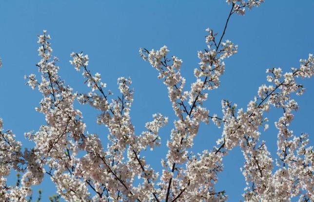 High Park Cherry Blossoms. Photo by Steven Joniak.